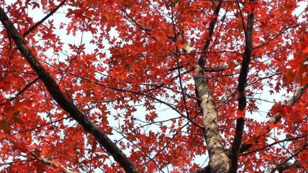 12-1月:紅葉