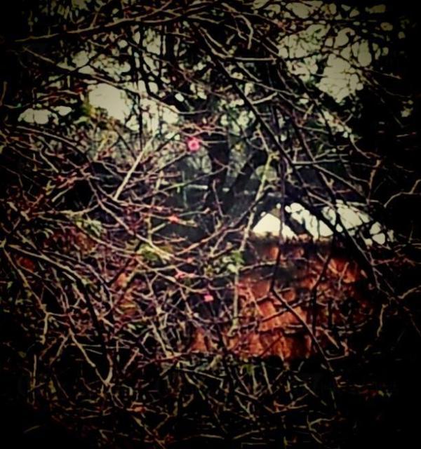 圖:長洲櫻花情報
