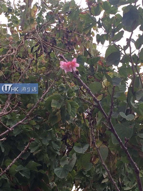 中大、鰂魚涌花園櫻花開!香港櫻花情報