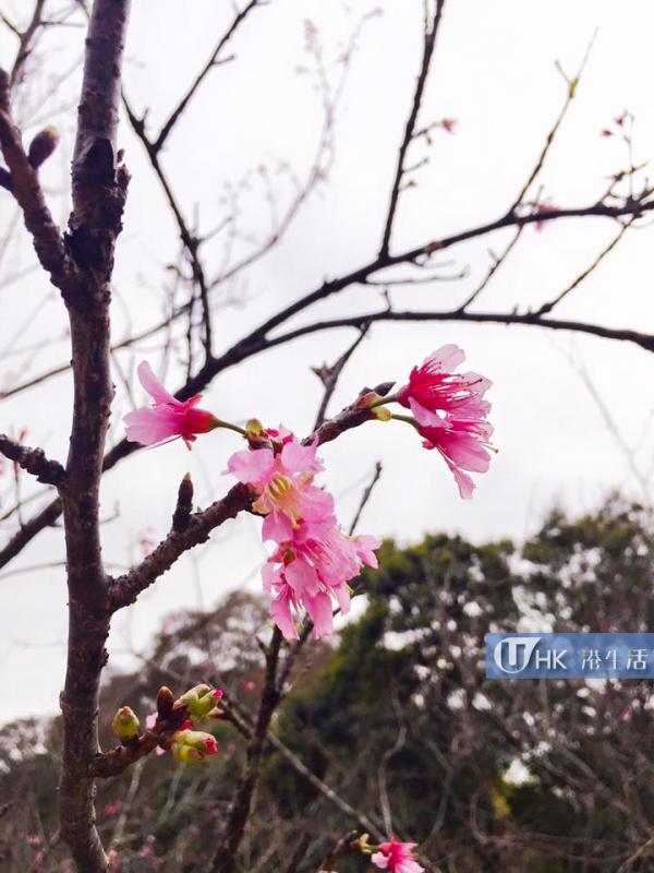 扶輪公園櫻花2016