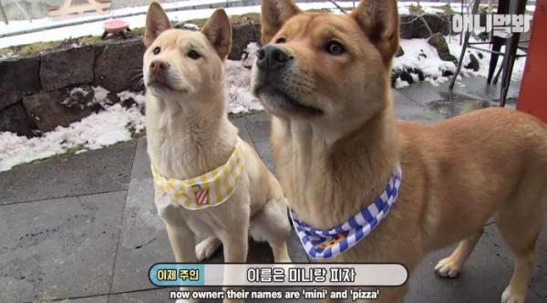 PIZZA店新吉祥物!雙胞胎流浪小狗被好心店主收養