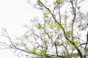 香港大學藍花楹