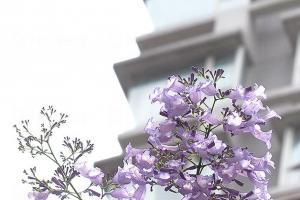 灣仔星街藍花楹