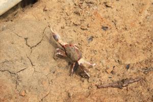 泥灘上有不少小蟹,可上一堂生態堂。(關璇攝)