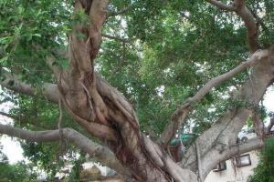 此心願樹已有上百歲,據說一婦人曾於祈福後轉運,來到自然要許個願。(陸嘉鈴攝)