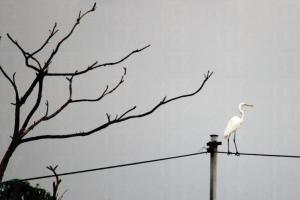 這隻是大白鷺,除了比小白鷺大隻之外,最易認的就是牠的黃咀、黑腳;小白鷺就剛好相反。(關璇攝)