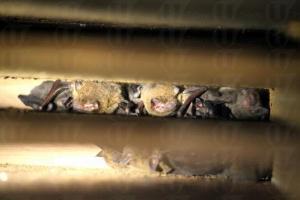 蝙蝠們例吊在箱中,一隻隻看起來竟不覺恐怖,個人覺得又點似豬。(關璇攝)