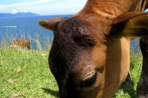 這些小牛應該出生不久,牛媽媽已很放心讓牠們自己四處吃草,可見塔門的確是牛隻的安樂窩。