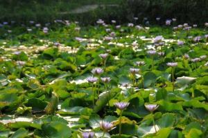 農莊外的紫蓮池,是一個隱世拍攝景點。