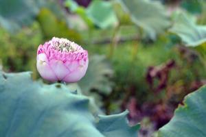 賞花有時,如此豐碩的紅蓮不是常常看得到的。