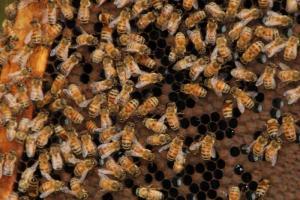 養蜂員展示蜂巢和蜜蜂,嚇得我們嘩嘩叫。