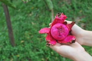 搣了皮的火龍果肉呈紅色,入口香甜。
