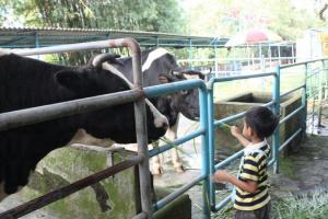小朋友餵牛牛餵得不亦樂乎。