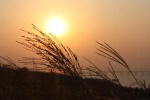 蘆葦草配上夕陽形成一幅優美景象。