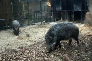 另一邊更有兩頭野豬,因失去了野外求生的能力,只好留在中心成為長期住客。
