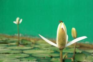 荷曄庭中設有蓮花池,連蜜蜂也被花香吸引來。