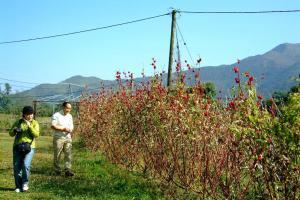 洛神葵株可高近 8 呎,沒有空擴的環境是種不了的。