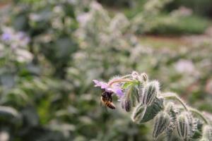 香草園中的玻璃苣,帶有青瓜的清爽味道,可令沙律更 juicy。連蜜蜂都來「搵食」,便知不含殺蟲劑,絕對健康。