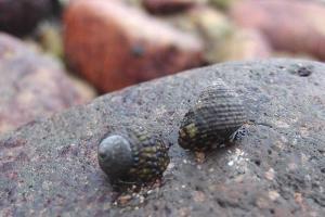 在連島沙洲上,隨便翻開一塊石頭也可發現寄居蟹的蹤跡。(Shecky 攝)