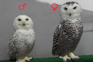 「雪鴞」一身白羽毛可抵得住零下 50 度的惡劣環境。圖左為雄性;右雌性。