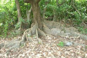 板根樹是荔枝窩的一大特色