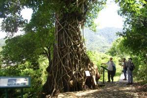 有百年歷史的通心樹