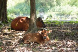 走過一點,又見有牛群在樹蔭乘涼。