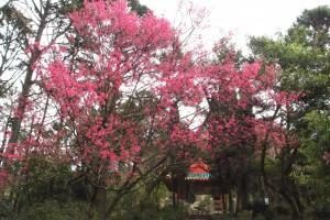 胡挺生先生紀念亭內的櫻花樹