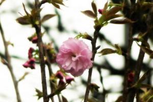 關公亭櫻花 2012 年的開花情況(新之棧圖片)