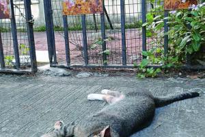 學校是流浪小貓的休憩地,閒時晒晒太陽,多寫意。看到門口有人放置食物,遊客勿隨便餵飼。