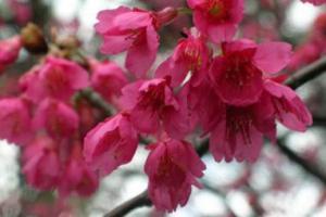 台灣品種鐘花櫻桃能接受香港潮濕的天氣,植根嘉道理。(官網圖片)