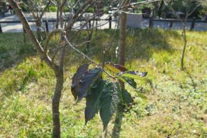 部份櫻花樹上尚有少量樹葉,未到開花期。