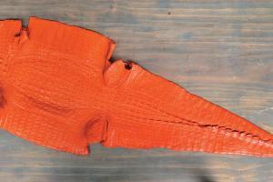 合法進口的完塊鱷魚皮 $1,800,每隻都扣上「身份證」膠圈。