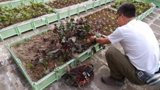 職員正在採摘新鮮的紅菜頭