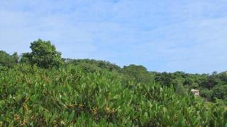 附近紅機林生長得非常茂密。(關璇攝)