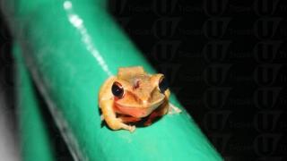 不怕人的可愛樹蛙多出現在教育中心前的水池旁,就算行近影相也不會輕易跳走。(關璇攝)