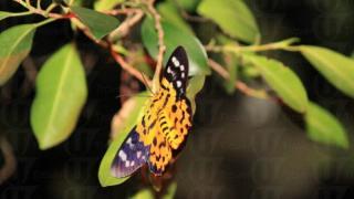 另一款在米埔容易見到的昆蟲名為豹尺蛾,因為身上斑店似豹紋而命名。(關璇攝)