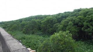 南生圍的紅樹林非常繁茂,有些紅樹甚至長得比河堤還高。