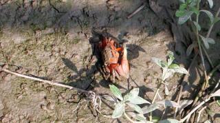 紅樹林的泥灘上常有招潮蟹和彈塗魚出沒。