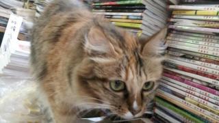 貓咪表演在書堆中飛簷走壁