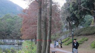 落羽松和池杉的生長形態非常相近,要細心留意葉子形狀才能分別兩者。