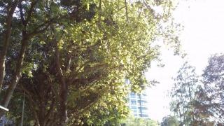 步道的一邊有楓香,另一邊有落葉松、池松。