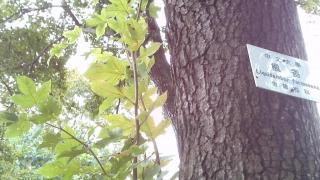 楓香的樹葉,呈三裂形。