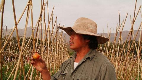 除了士多啤梨外,自摘園亦種了有機番茄。