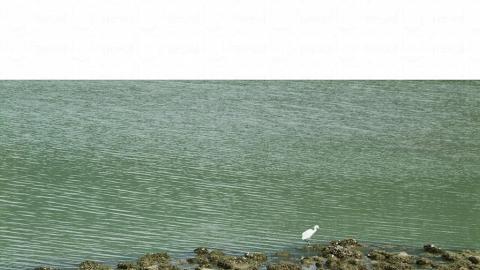 紅樹林水面,不乏覓食的小白鷺。