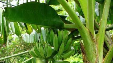 農莊內種有多種水果、香草,當中有木瓜、士多啤梨、檸檬等,此乃香蕉。