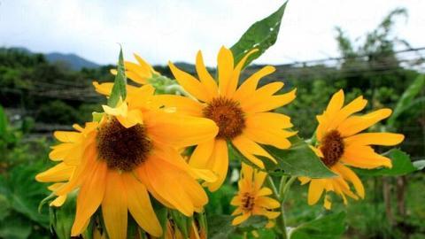 場內太陽花盛開,如果配上藍天白雲堪稱一絕。
