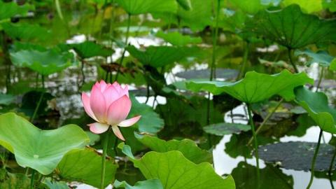 五、六月荷花盛放,微開的粉色荷花配上青翠荷葉形成一幅畫。