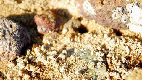 泥灘裡活躍的小蟹,紅樹林內有豐富生態資源。