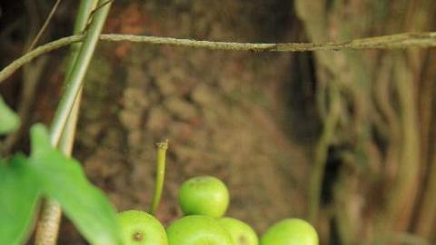只有南丫島的隱花果能為蜜蜂榕小蜂提供地方棲息地方,足見島上的生態系統依然繁盛。